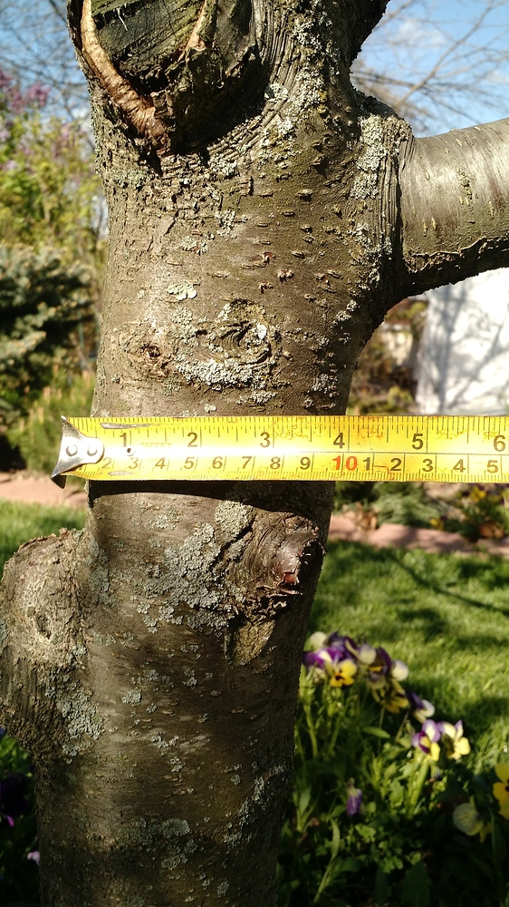 Grafting dummy question what can be grafted to plum tree pruned pictures attached general - Graft plum tree tips ...