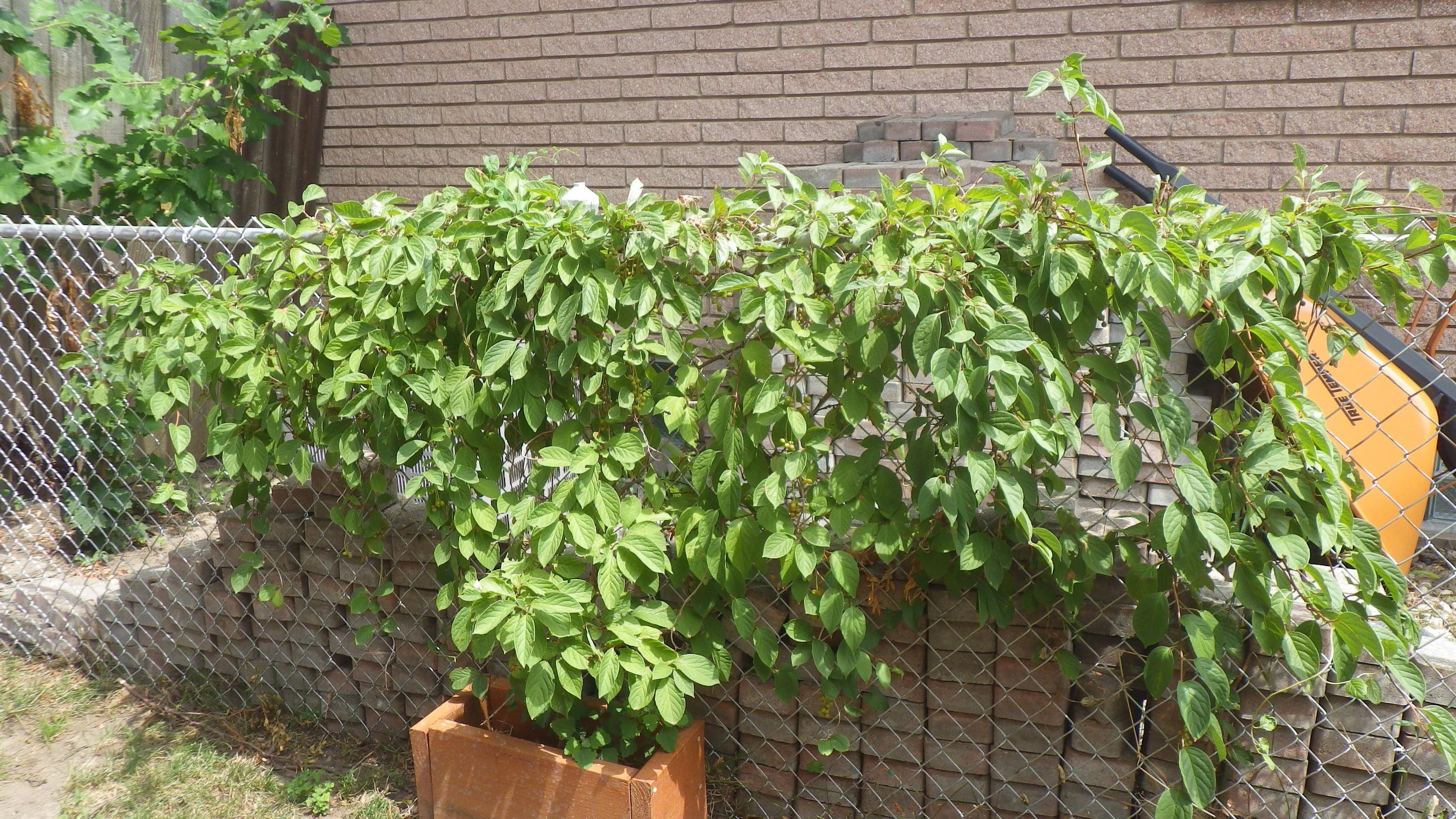 Does Anyone Like Goji Berries General Fruit Growing Growing Fruit