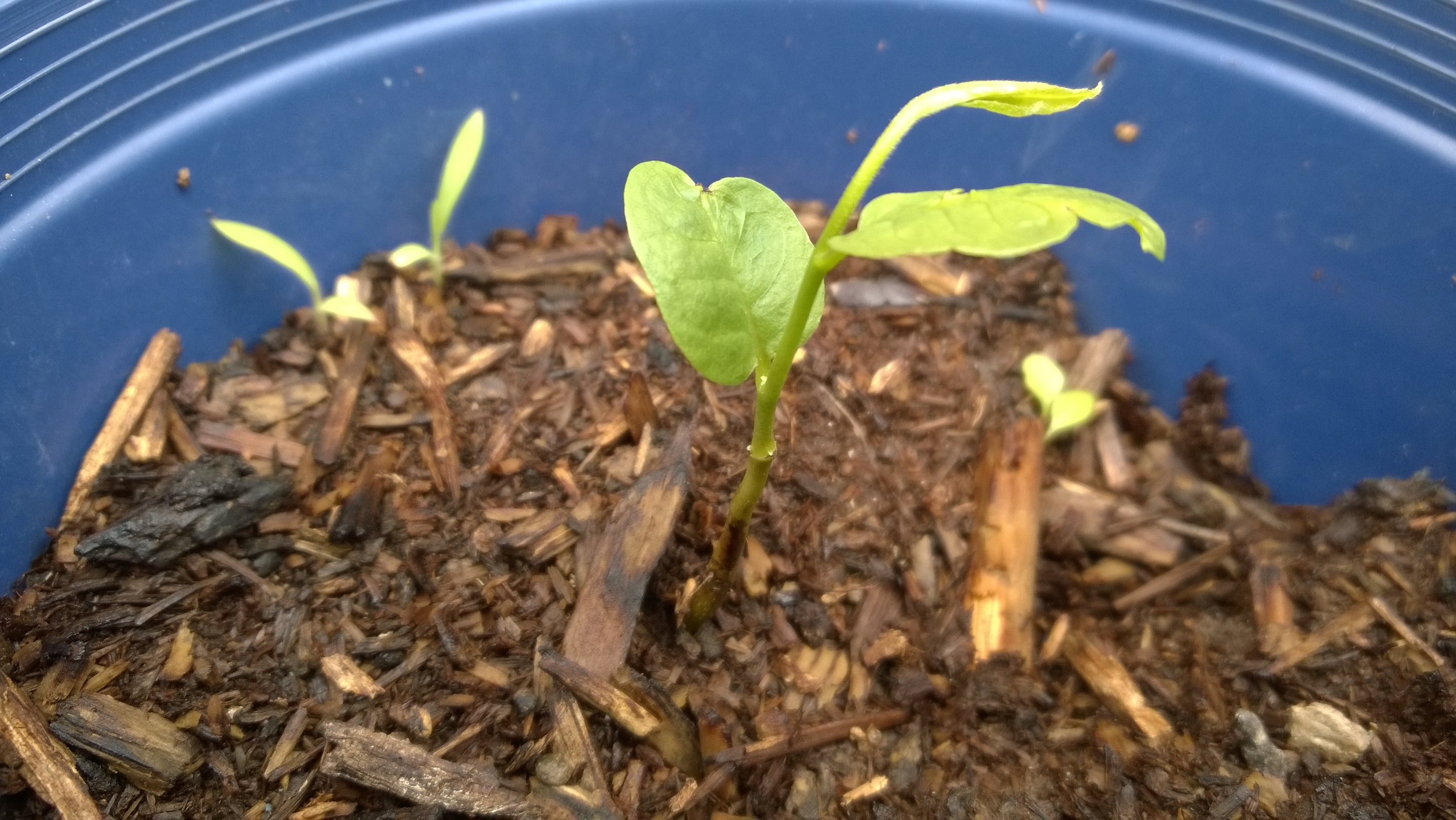 Starting pawpaw seeds - General Fruit Growing - Growing Fruit