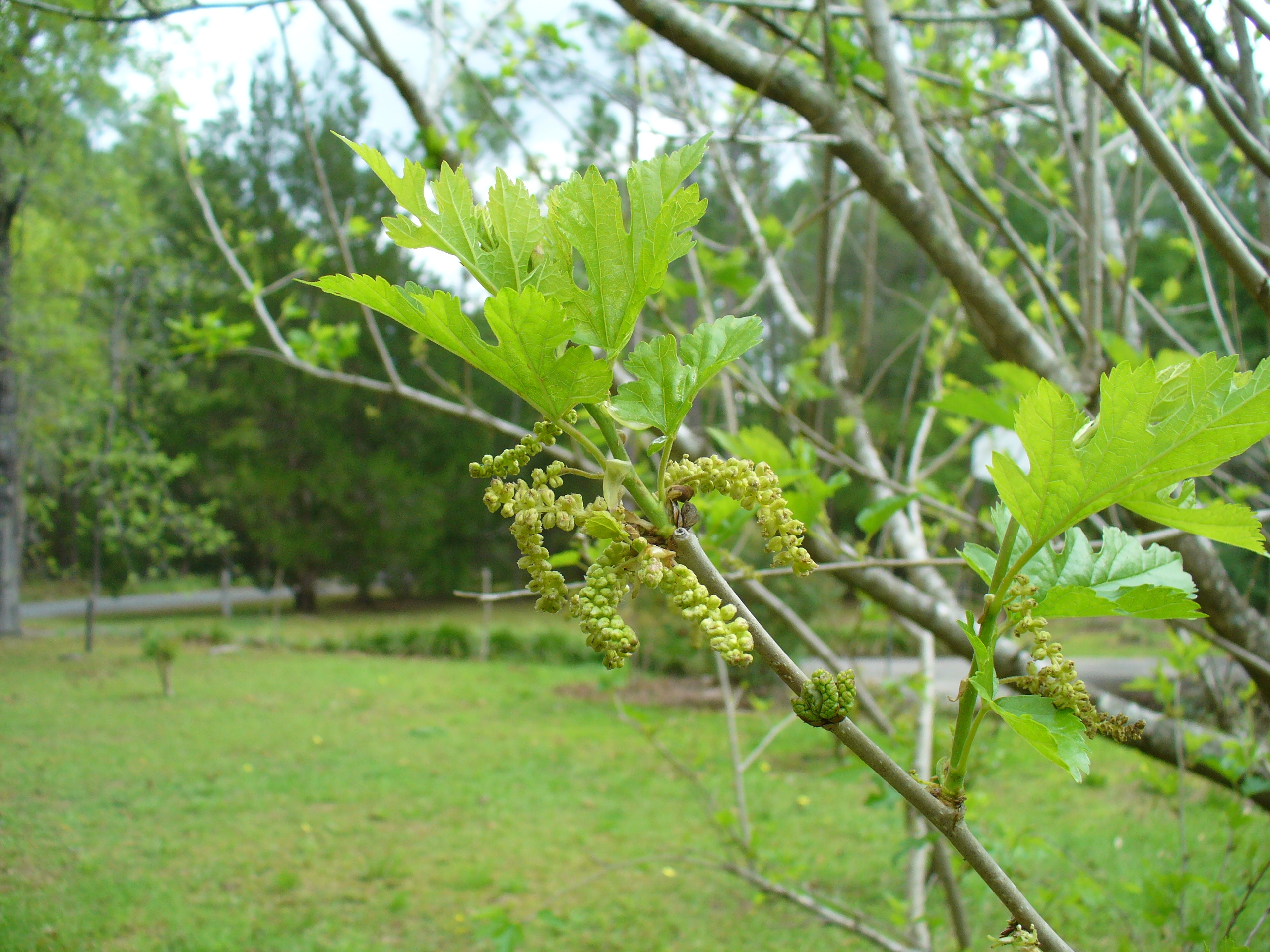 how to grow mulberry tree from cutting