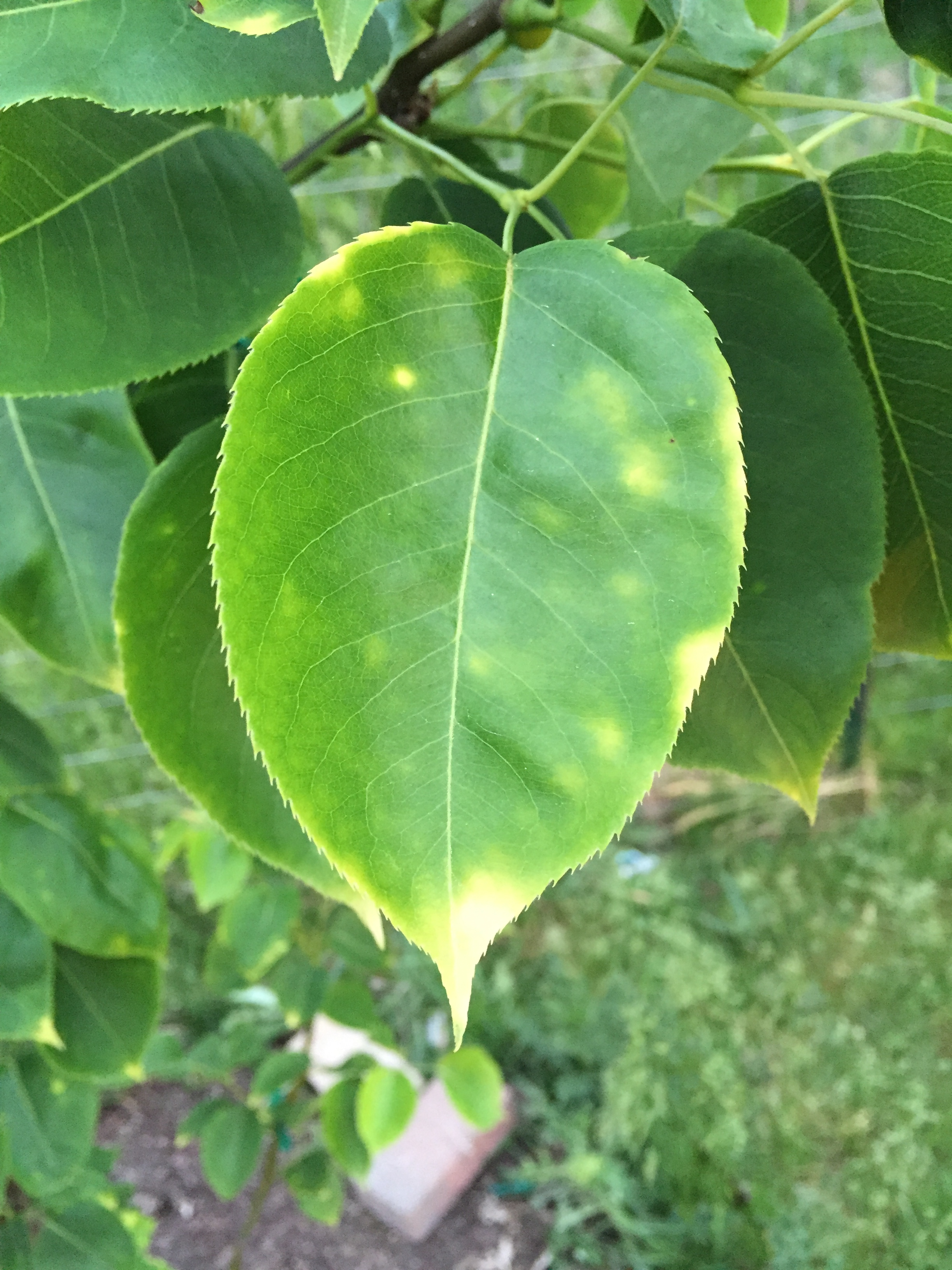 Asian pear leaf, hot sex affair