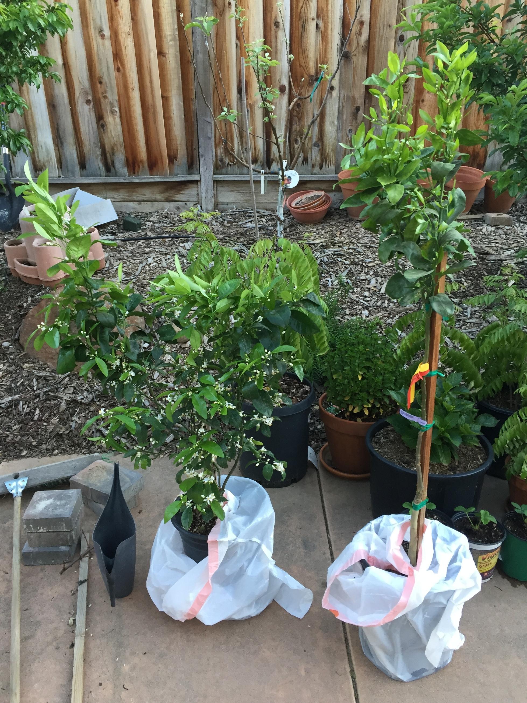 Gold Nugget and Tango Mandarins - General Fruit Growing