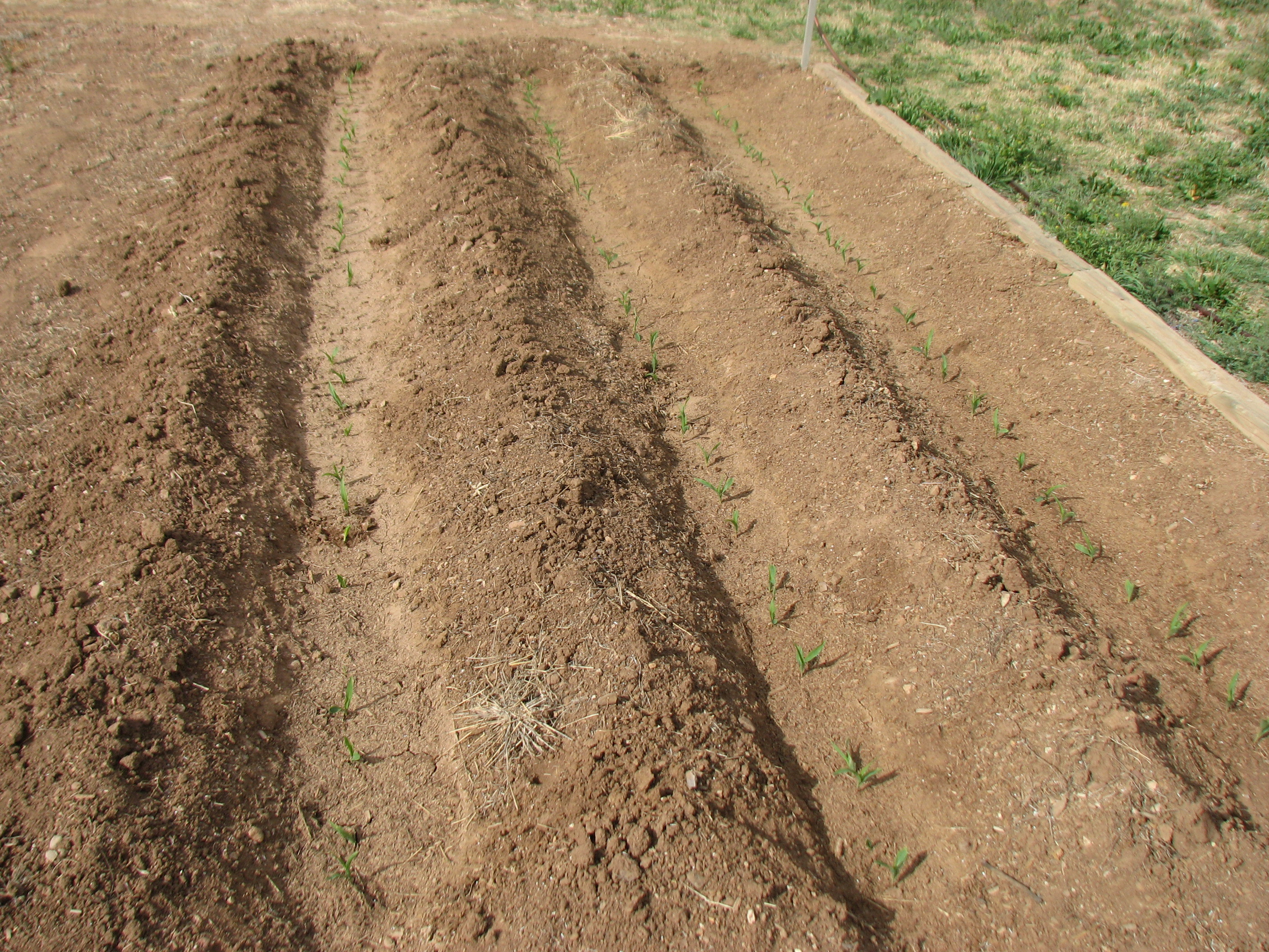 Finally finished seeding our front sweet corn patch - General ...