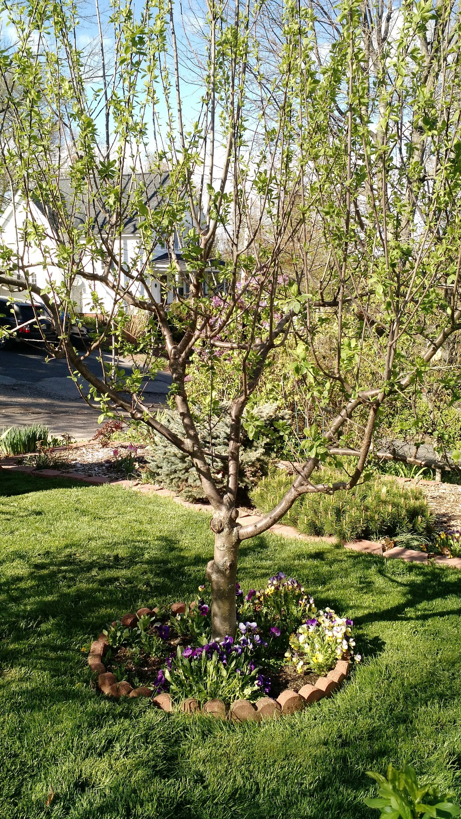 Grafting Dummy Question What Can Be Grafted To Plum Tree