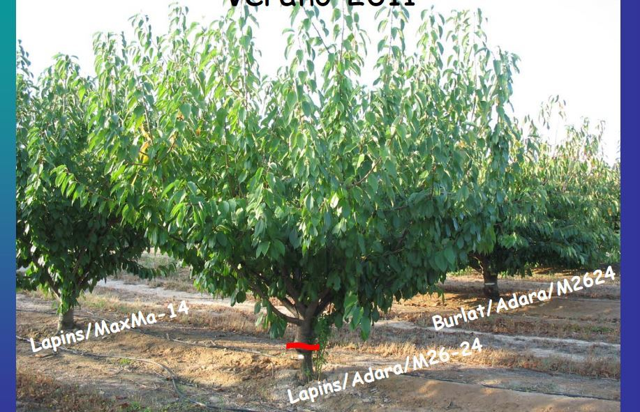 Any Experience Using Myrobalan 29c As A Cherry Rootstock