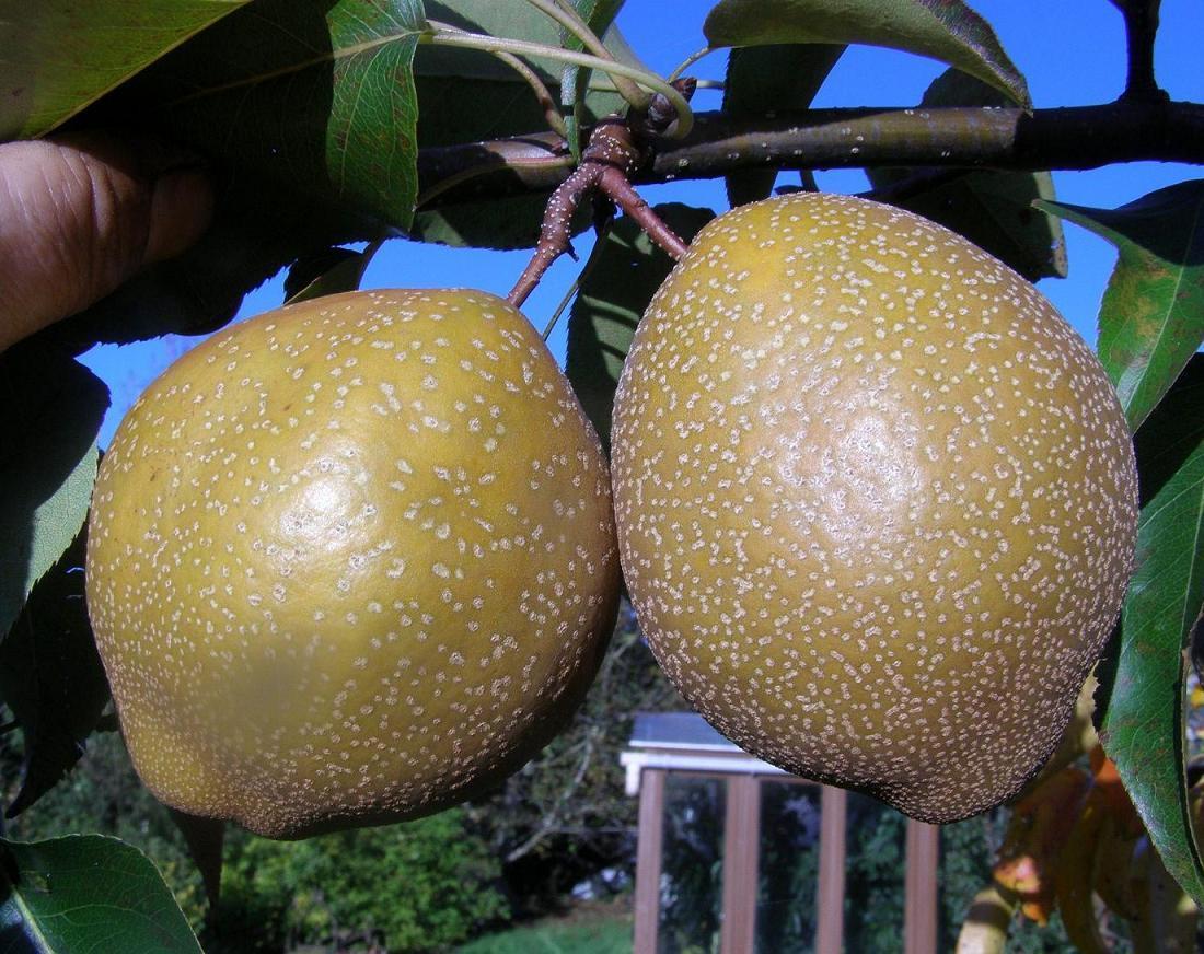 Best asian pear