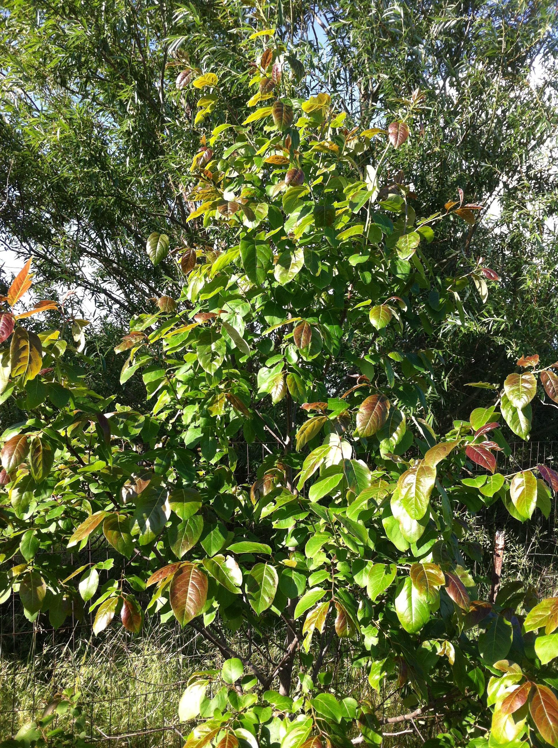 Lotus persimmon buds general fruit growing growing fruit imageg1936x2592 235 mb izmirmasajfo