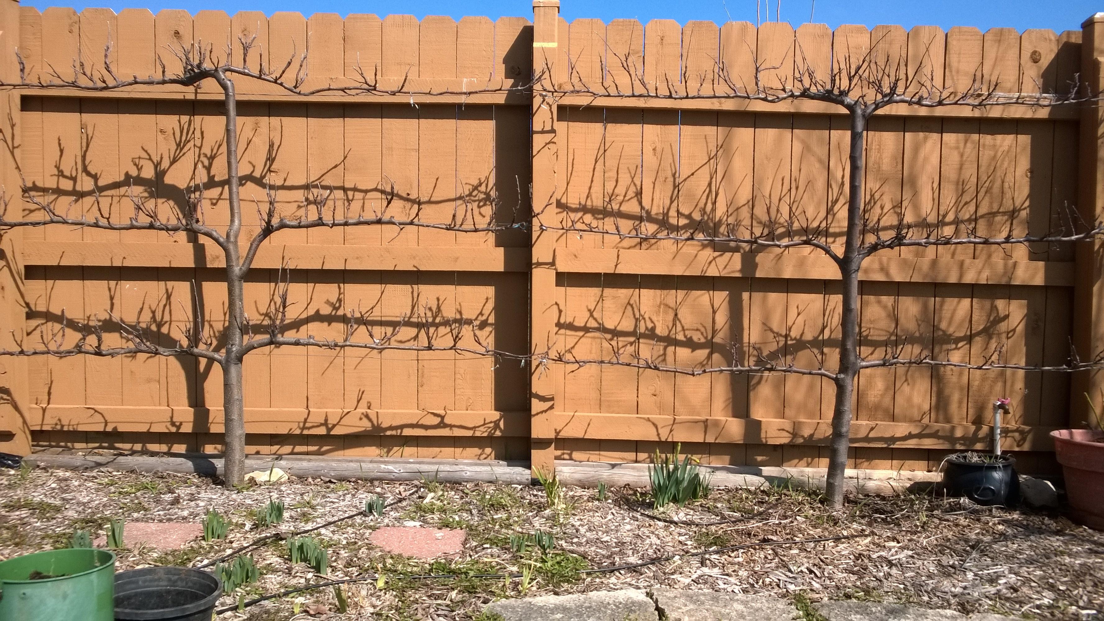 Espalier Apple Trees Rework 2016 Updates General Fruit Growing