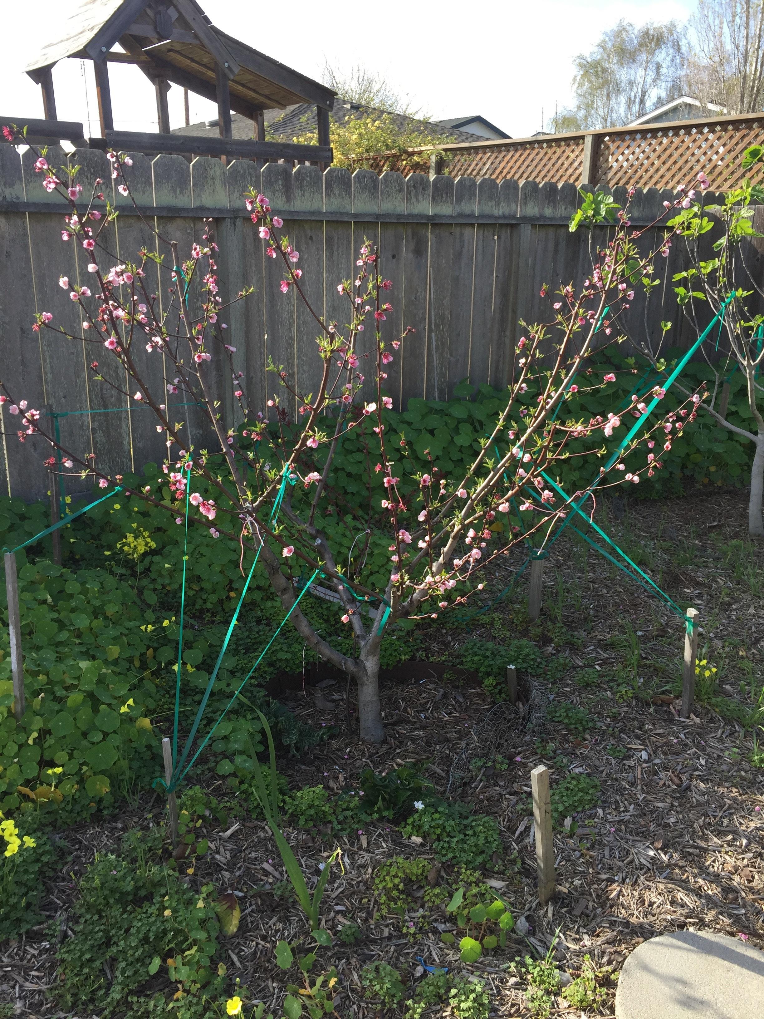 Sudden Peach Tree Disaster General Fruit Growing Growing Fruit