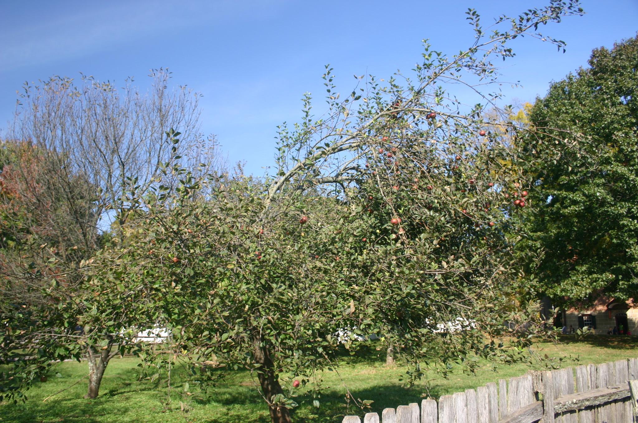 Old Fashioned Limbertwig Apple