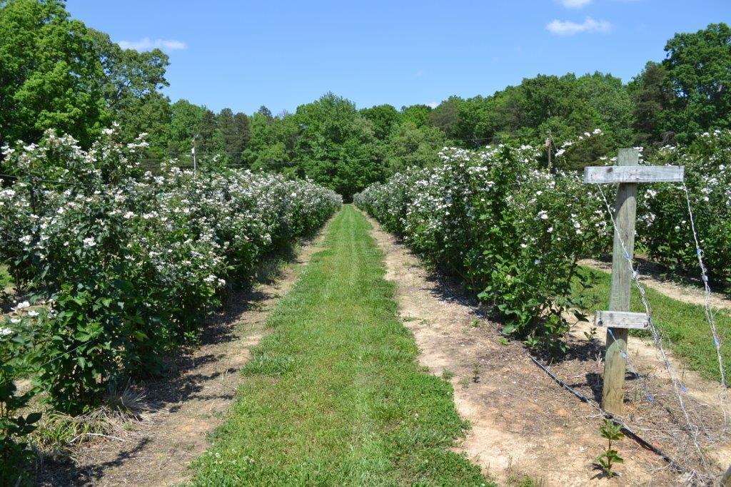 Best Thornless blackberry? - General Fruit Growing ...