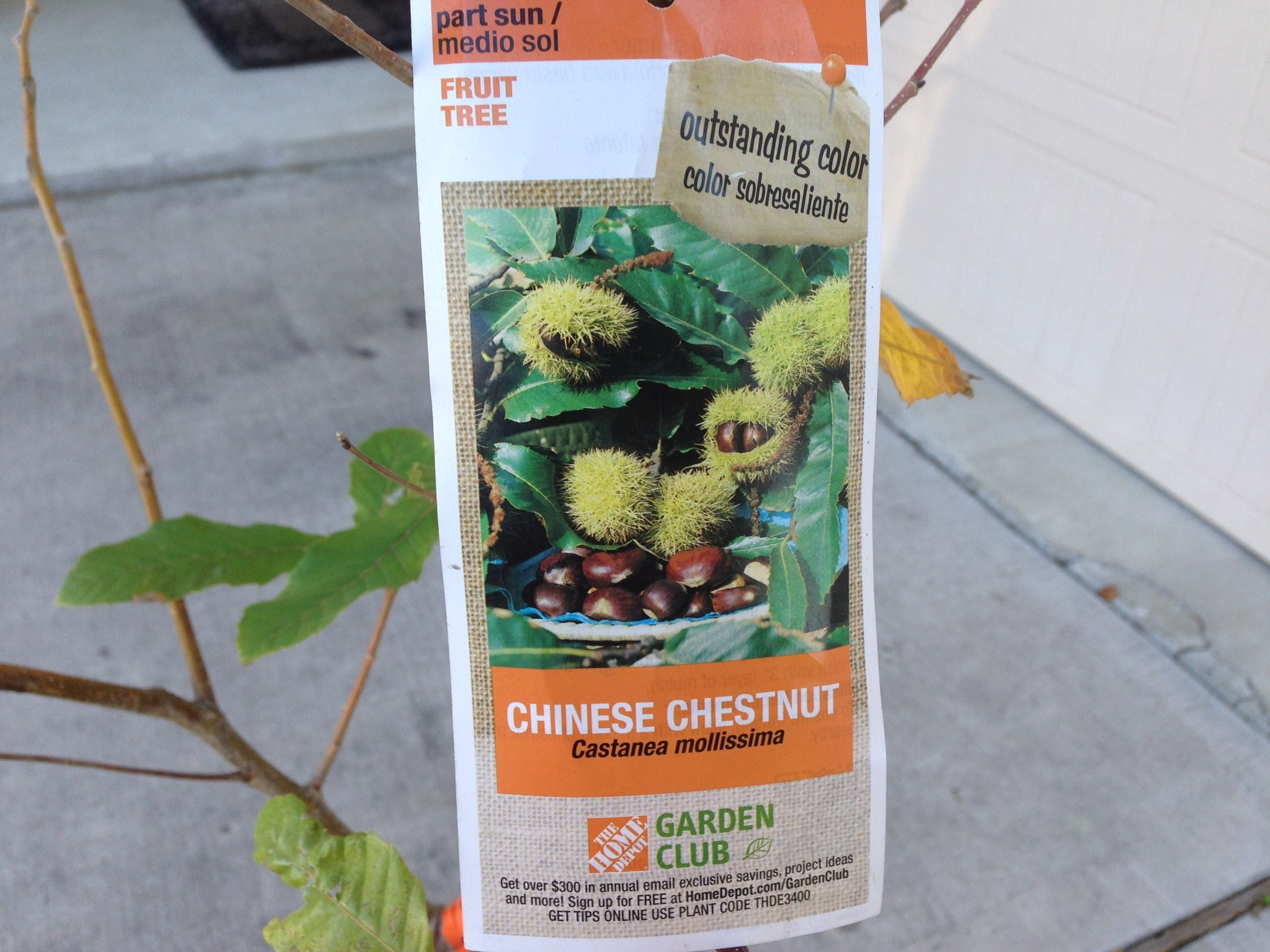 Chinese Chestnut at Home Depot General Fruit Growing Growing Fruit